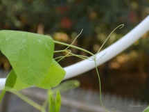 climbing-curling-pea-plant