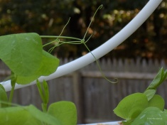 climbing-pea-plant
