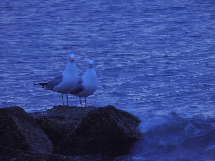 4-29-17 Two gulls posing