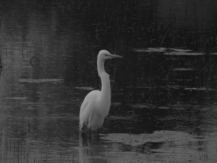 Great Egret C