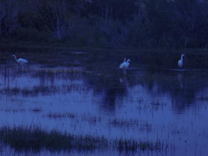 Great Egrets I've Had a Few