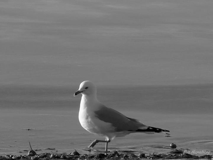 Sea Gull Feeding Frenzy B&W