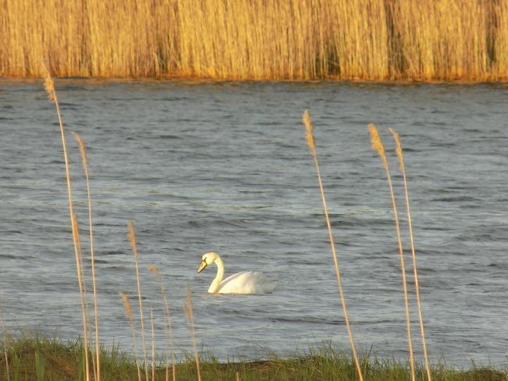 Swan's Evening Hunt