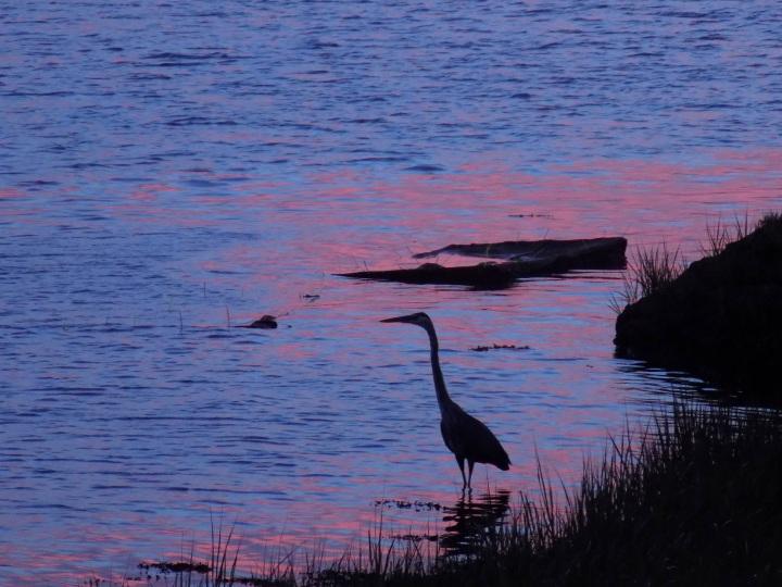 70317 Egret in Morning Light