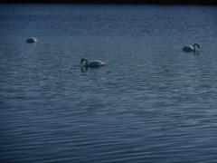 feasting swans 3