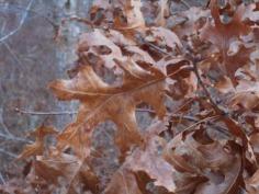 012018 Oak Leaves