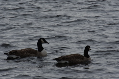 021018 2 Geese