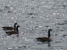 021018 3 Geese on Sparkling Water