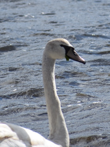 031018 Swan on a Sunny Day