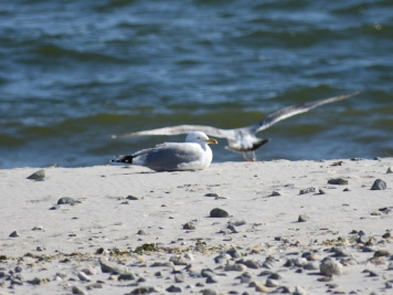040918 Seagull in the Sun